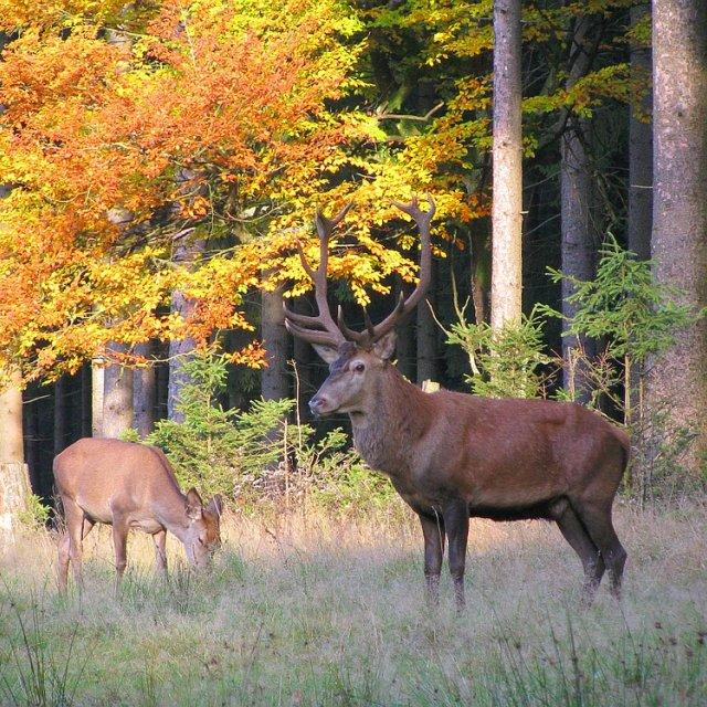 Frauenwald - Wild im Herbst