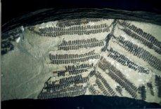 Fossiler Farn